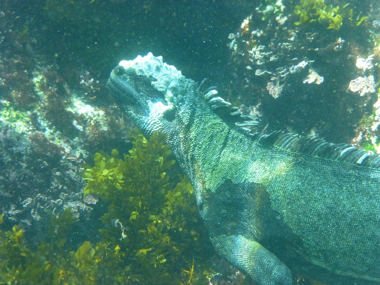 1-1-15 iguana