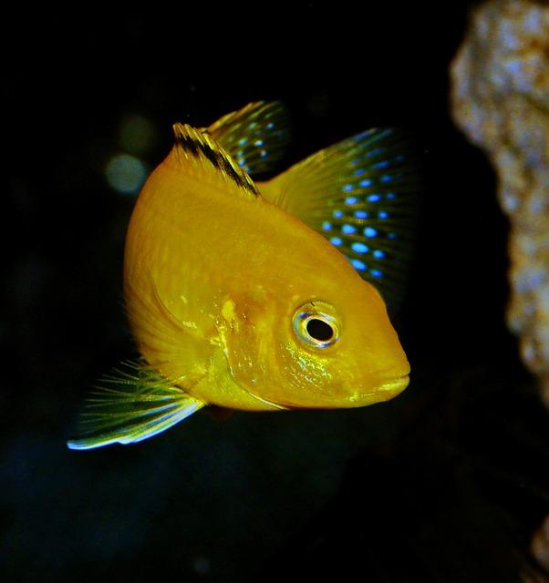 Los peces de Malawi más famosos