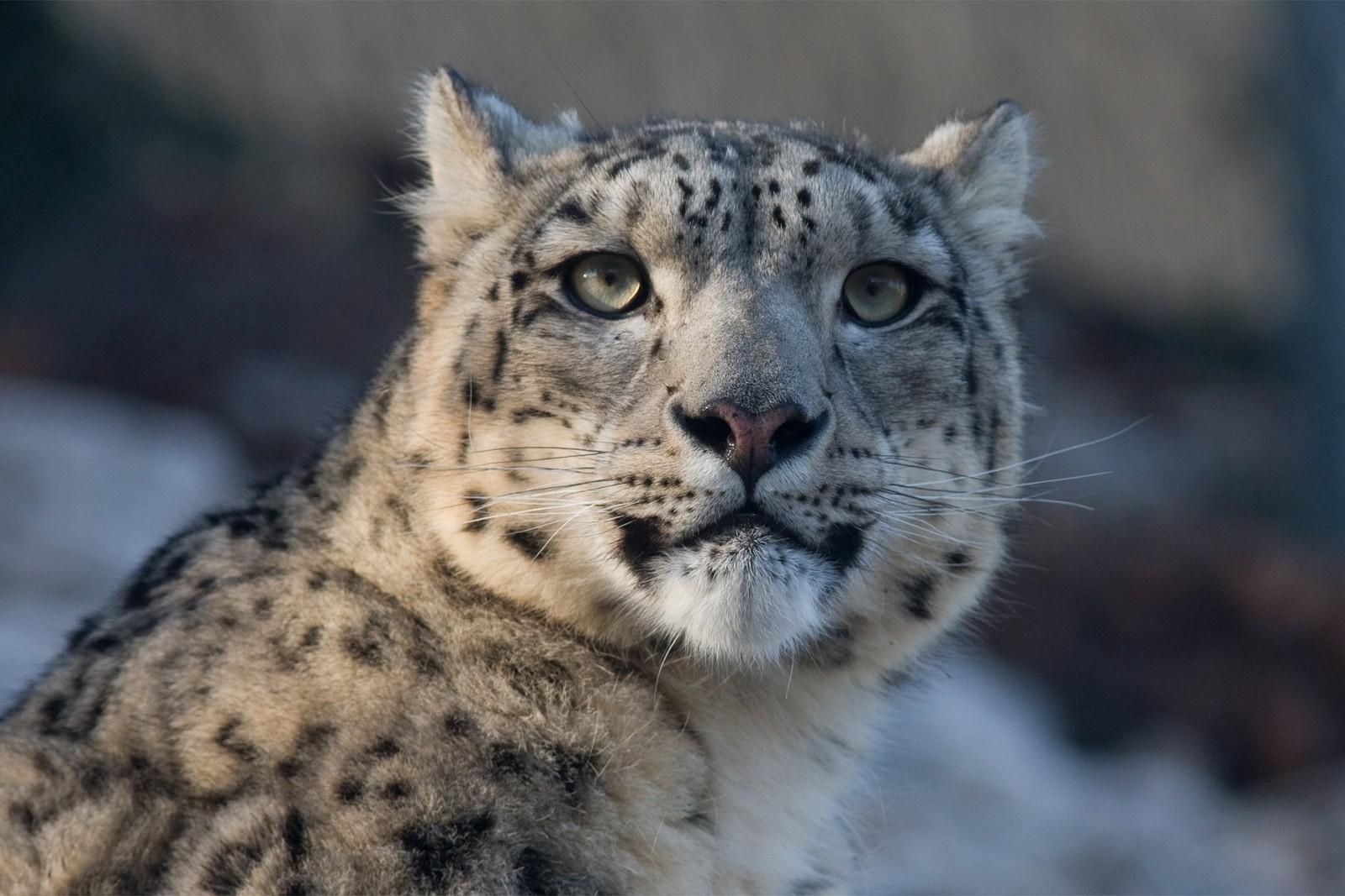 snow-leopard-725384_1920