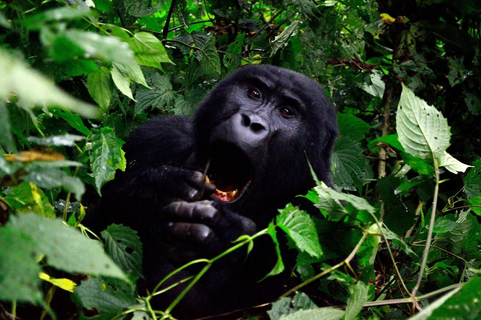 gorilla-355178_1920