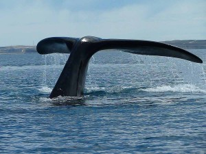 tail_of_a_whale_near_valdes_peninsula