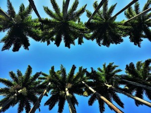 heads-of-royal-palms-1225882_960_720