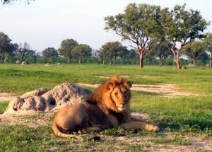 lion-hwange