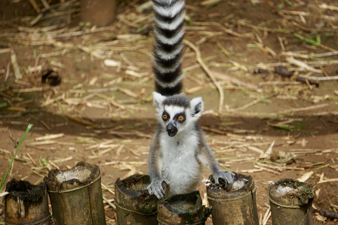 Madagascar. P Lemurs
