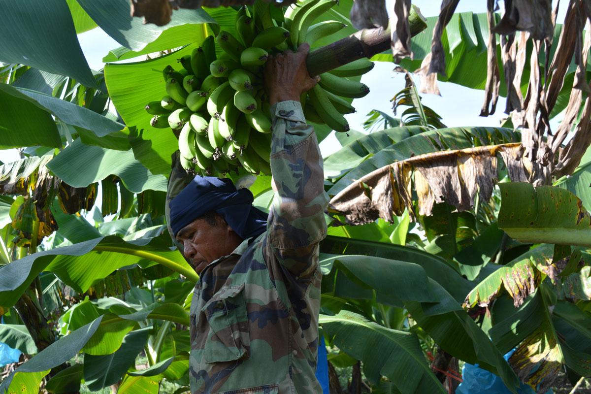 Tailandia Agricultura - Sigburi