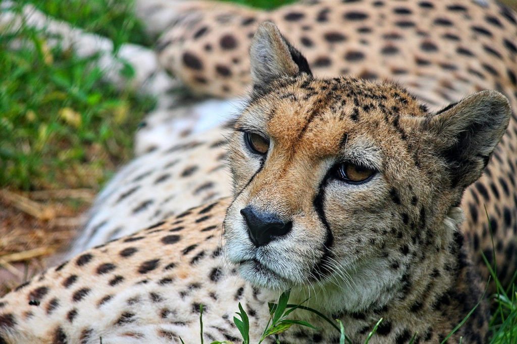 trabajar reserva natural guepardos
