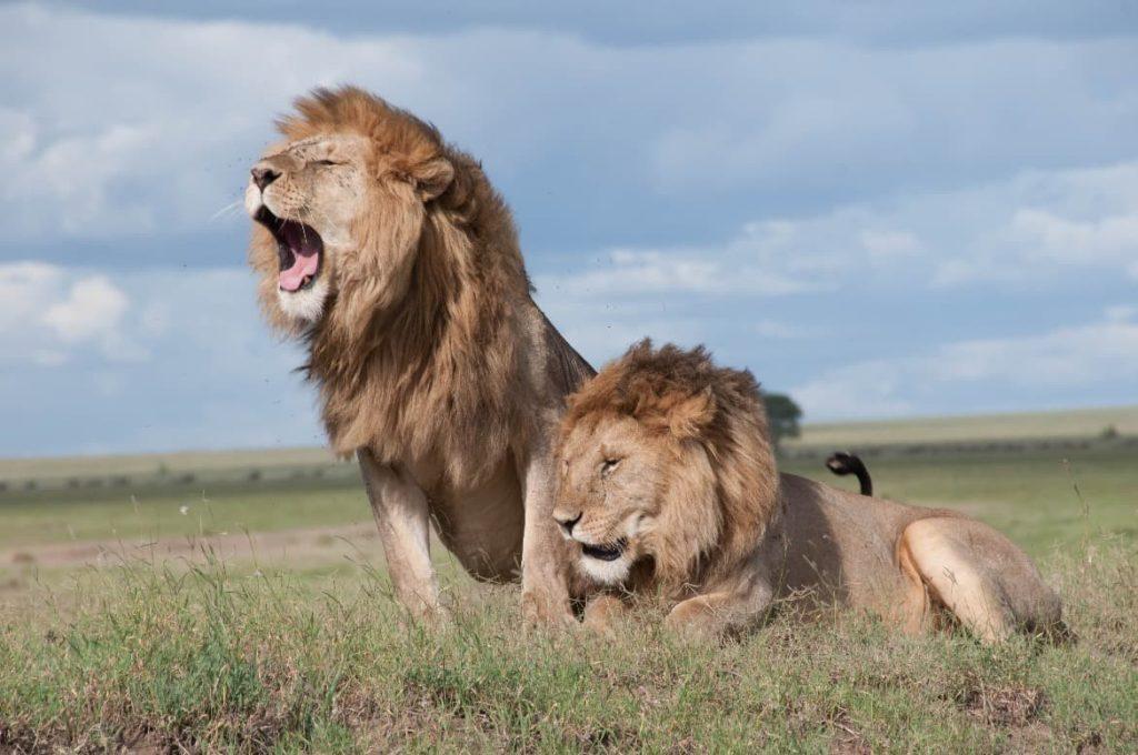 Realiza un safari durante tu voluntariado en Kenia